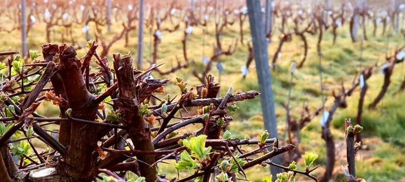 Le vignoble de Genval àl'aube