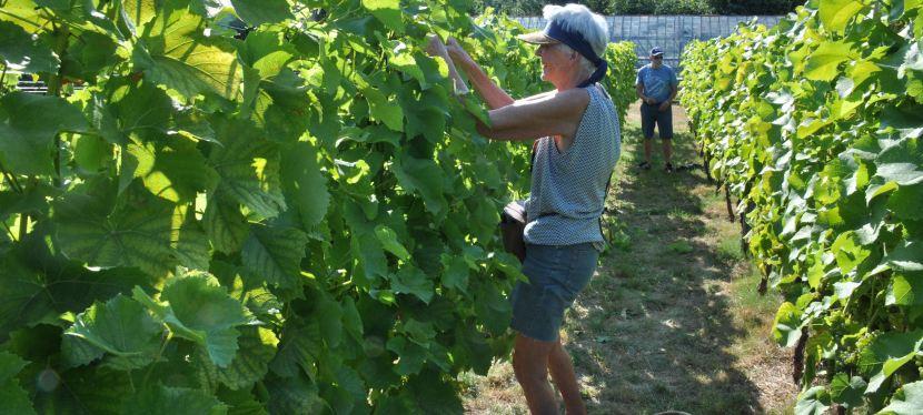 Vignes aérées etégrappées
